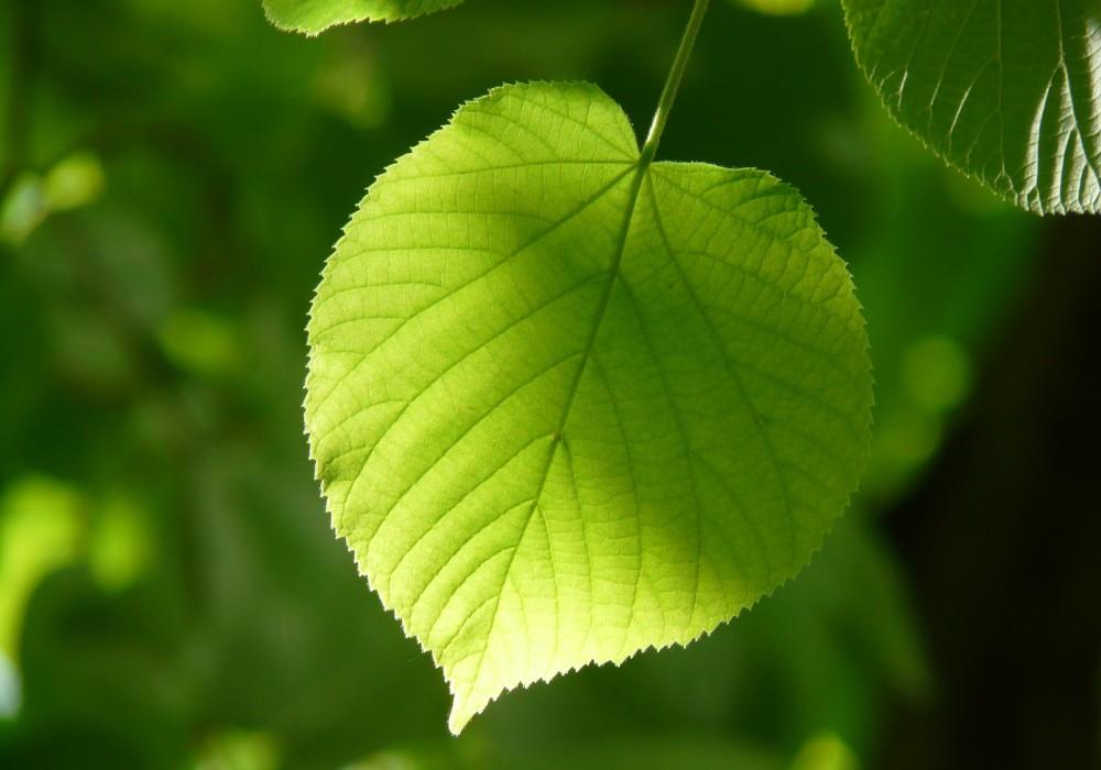 leaf-55859_1920